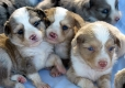 Australian Shepherd, 8 wks, All Colors